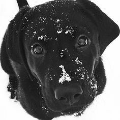 Black lab puppy in the snow! I am taking Bubba to snow this year!!