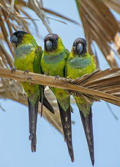 Feral Nandy Parrots of Siesta Key Beautiful Birds, Animals Beautiful, Cute Animals, All Birds, Cute Birds, Cockatiel, Parakeets, Parrots, Nanday Conure