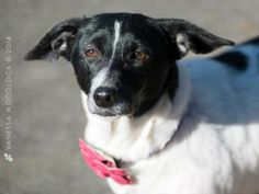 Meet Virginia a Petfinder adoptable Jack Russell Terrier Dog | Goldsboro, NC | VIRGINIA is our 2013 Christmas dog. We believe her to be a Jack Russel Terrier/Dachshund mix. She...