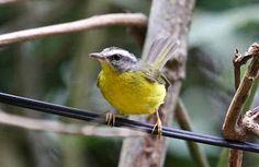 Pula-pula_Basileuterus culicivorus_Brazilian Birds