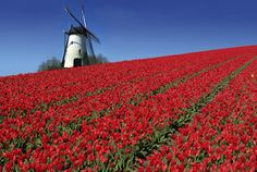 "One of the world's most enchanting regions in the springtime is Europe's ""Low Countries,"" Belgium and the Netherlands. Tulip fields near Amsterdam burst with color, and golden daffodils grace the tranquil Begijnhof of canal-laced Bruges. Day Trips From Amsterdam, Amsterdam Holland, Amsterdam Things To Do In, Amsterdam Area, The Places Youll Go, Places To See, Tulip Fields, Countries To Visit, Le Moulin"