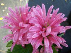 Jacobinia Flamingo Pink Carea starter plant by MorrisPlantNursery