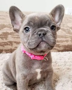 "Check out our site for more relevant information on ""Bulldog puppies"". It is actually an outstanding spot to get more information. Super Cute Puppies, Baby Animals Super Cute, Cute Little Puppies, Cute Little Animals, Cute Dogs And Puppies, Cute Funny Animals, Baby Dogs, Doggies, Pug Puppies"