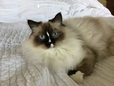 Ragdoll, Reese Willow 1 year old mitted seal ragdoll