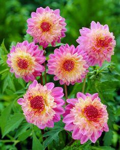 Dahlia Lambada.  If only I had agreed thumb - I'd grow these all over my yard!