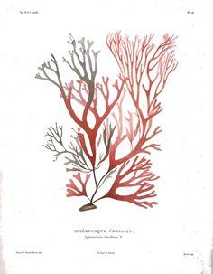 Botanical - Seaweed - Kelp, French 19th C 4.jpg 1,333×1,717 pixels.  Voyage autour du monde ?execute par ordre du roi, sur la corvette de Sa Majeste, La Coquille, pendant les annees 1822, 1823, 1824, et 1825 … /par M.L.I. Duperrey … Botanique, par Mm. d'Urville, … Bory de St?Vincent et Ad. Brongniart. (1828).