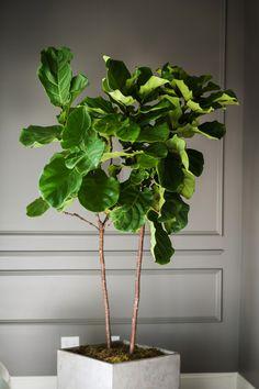 Fiddle leaf fig in concrete planter
