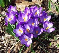 The word Crocus is Latin for Saffron. Saffraon comes from the stigna of the Saffron Crocus. It takes thousands of flowers to get an ounce of Saffron. My Flower, Flower Power, First Flowers Of Spring, Saffron Crocus, Crocus Bulbs, Yellow Cups, Bloom Where You Are Planted, Spring Bulbs, Spring Sign