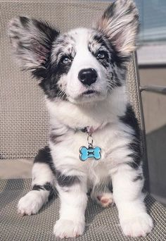 Blue Merle Corgi, this is exactly the kind of corgi I want, so beautiful Aussie Puppies, Cute Dogs And Puppies, I Love Dogs, Doggies, Blue Merle Corgi, Cute Corgi, Corgi Dog, Dog Cat, Beautiful Dogs