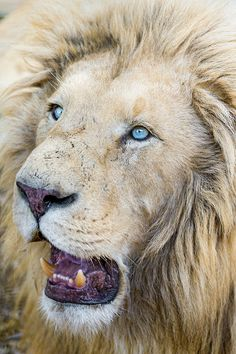 Portrait of a white lion with open mouth