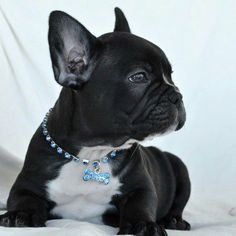 French Bulldog – Playful and Smart Pied French Bulldog, Black French Bulldogs, Cute French Bulldog, French Bulldog Puppies, Cute Puppies, Cute Dogs, Puppy Backgrounds, Animals Beautiful, Cute Animals
