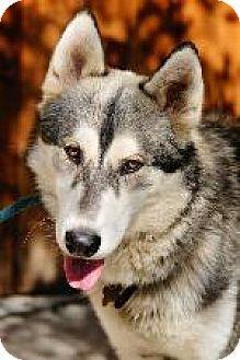 76 Best Alaskan Malamute Mixed Images Alaskan Malamute Malamute Alaskan