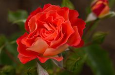 Easy Elegance 'Coral Cove' shrub  Rose