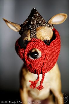 Pixel the Chihuahua in a knitted Norse battle helmet.