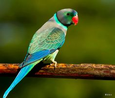 Male Malabar Parakeet