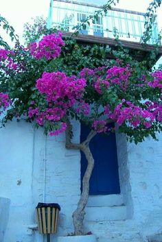 Begonvil ( Gelin Duvağı - Rodos Sarmaşığı -Onbir Ay Çiçeği )  Bouganvilla - Alp Osman