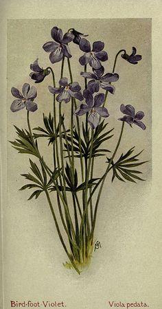 Bird-foot Violet - Viola pedata