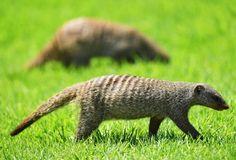Unas mangostas pasean por el campo de golf durante el Pro - Am del desafío del golf de Nedbank en Sun City, Sudáfrica.