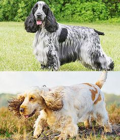 English Cocker Spaniel. Get a Free Consultation for your #dog from our Friends at Nature's Select #Petfood http://naturalpetfooddelivery.com/nsd/usa/free-consultation/