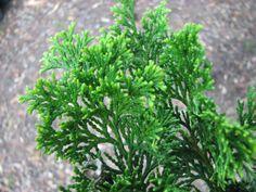 Rich's Foxwillow Pines Nursery, Inc. - Chamaecyparis obtusa – 'Aurea Nana'Hinoki Cypress