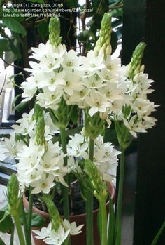 Ornithogalum - aka Star of Bethlehan These flowers are beautiful and last a long time in a bouquet or flower arrangement.
