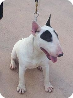 #FLORIDA ~ What a face...huh?!  He has an adorable personality to match!  Khalifa is a 1.5y/o male Bull Terrier & approx 45lbs. He found himself in a high kill shelter. This breed is known to be fun-loving, comical, courageous, scrappy & active. They enjoy people but not recommended for an inexperienced dog owner or small children. They have a naturally strong prey drive & aren't good with cats. Lost Angels Animal Rescue in #Tampa larescue@hotmail.com