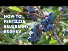 How to fertilize blueberry bushes and how to test the pH level of your soil. Find out how to apply vinegar and coffee grounds as a natural fertilizer. Blueberry Fertilizer, Pruning Blueberry Bushes, Blueberry Bush Care, Blueberry Tree, Growing Blueberries, Acid Loving Plants, Berry Plants, Fertilizer For Plants, Potager Garden