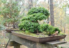 Kingsville boxwood- Bonsai garden on display this weekend - Aiken Standard