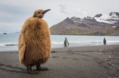 King Penguin Chick Photo by marc meijlaers — National Geographic Your Shot