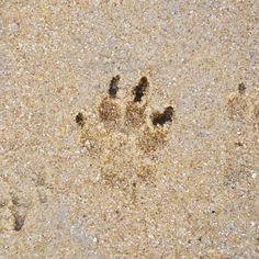 We left the last paw-steps on the beach of #parnassia . See you again in 5 weeks. Off for another walk on the streets of #zandvoort ... Wir haben die letzten Pfotenabdrücke am Strand in #bloemendaal hinterlassen.  Bis in 5 Wochen. Noch ein Spaziergang durch die Stadt, bevor es Richtung Heimat geht.  #pmdoggyday2015 #yorkshireterrierblog #hundeblog #dogstagram #dogoftheday #urlaubmithund #paws #pawsup #beachwithdogs #timetosaygoodbye