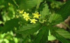 Οι θεραπευτικές ιδιότητες του Αγριμόνιου http://biologikaorganikaproionta.com/health/139131/