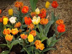 What to do After Tulip Plant has Finished Blooming? - http://www.organicfarmingblog.com/tulip-plant-finished-blooming/