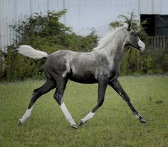 Sooty causes darkening or dark dappling. This filly is an extreme example of sooty on palomino(dna tested palomino). The cause and mechanism of sooty is currently unknown. -Nix Alba