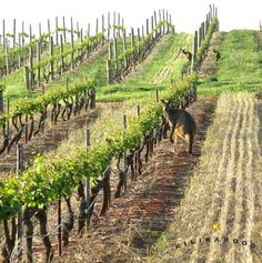 These kangaroos know where, and how, to get the good grapes – straight off the vine, before they become wine. Barrossa Valley.....