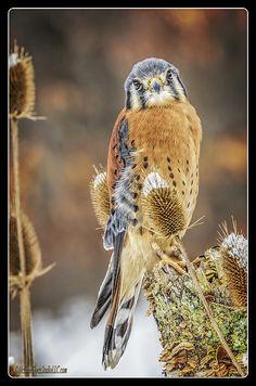 Howell Michigan, American Kestrel, Bird Illustration, Birds Of Prey, Bird Art, Bird Feathers, Beautiful Birds, Animal Kingdom, New Art