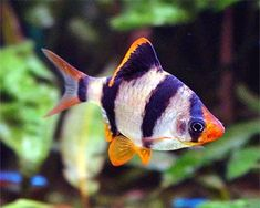 Types of tropical fish-Tiger Barb Tropical Fish Aquarium, Tropical Fish Tanks, Tiger Fish, Pet Fish, Tropical Freshwater Fish, Freshwater Aquarium Fish, Water Animals, Beautiful Fish, Exotic Fish
