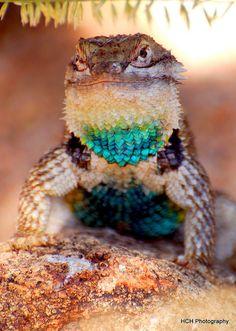 Desert Spiny Lizard                                                                                                                                                     More