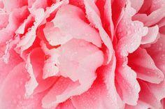 peony abstract Peony, Saatchi, Abstract, Rose, Flowers, Plants, Photography, Art, Summary