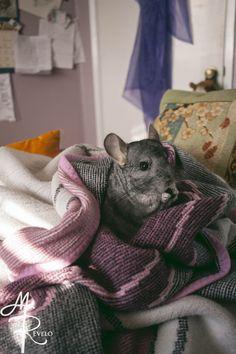Stickshift the Chinzilla enjoying some treats in his comfy blanket.
