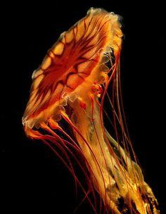Dream catcher jellyfish
