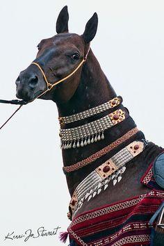 Turkmen Horse Holiday 2012. Akhal-Teke