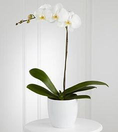 White Phalaenopsis Orchid-An elegant, long-lasting gift. A snow-white phalaenopsis orchid plant displays its exotic blooms while seated in a designer white ceramic container.  #CentralSquareFlorist #IndoorPlants #Orchids