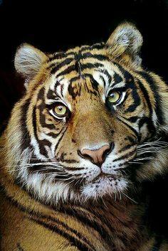 Simply gorgeous gotta <3 me some tigers.