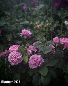 Rose ' Lavender Ice '