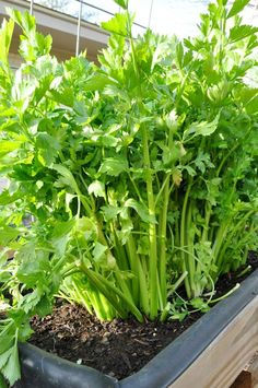 check out how to grow celery in your backyard. blog with pics and how to.
