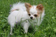 Pekingese Puppies, Chihuahua Puppies, Cute Puppies, Cute Dogs, Dogs And Puppies, Chihuahuas, Doggies, Beautiful Dogs, Animals Beautiful
