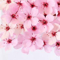 Paper cherry blossoms by A Petal Unfolds Tissue Flowers, How To Make Paper Flowers, Paper Flowers Craft, Large Paper Flowers, Paper Flowers Wedding, Crepe Paper Flowers, Fake Flowers, Diy Flowers, Cherry Flower