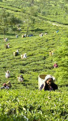 Lush field of tea pickers......  Darjeeling Tea Gardens......