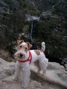 Fox terrier hiking