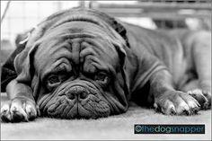 Vinnie, Dogue De Bordeaux